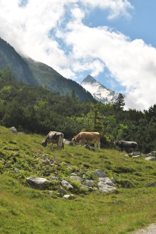 Cattle in Austria