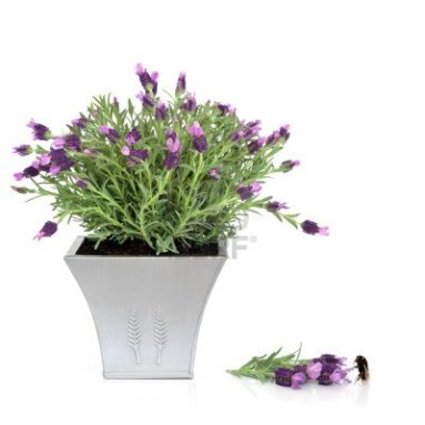 5958004-lavender-herb-plant-in-a-pewter-pot-with-flower-and-leaf-sprig-and-bumblebee-over-white-background