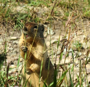 Ground Squirrel eating grass